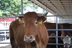 jedzących krowy Obraz Royalty Free