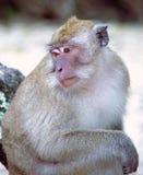 jedząc makak kraba Zdjęcia Stock