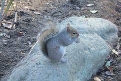 jedząc orzeszek wiewiórka Obraz Royalty Free