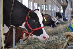 jedzących krowy Obrazy Royalty Free