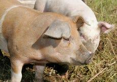jedzenie świnie Zdjęcie Stock