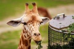 jedzenie żyrafy liście Obrazy Stock