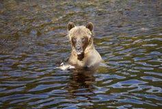 jedzenie grizzly matkę łososia Fotografia Stock