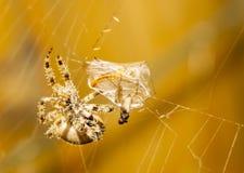 jedzenie jest pająk Obrazy Stock