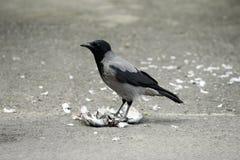 jedzenie, kruk ptaka Obraz Stock
