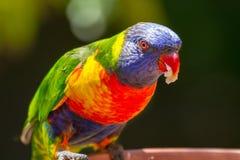 jedzenie lorikeet rainbow Zdjęcia Royalty Free