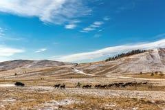 Jeep, der eine Herde von Pferden in der Steppe jagt lizenzfreies stockbild