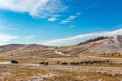 Jeep die een kudde van paarden in de steppe achtervolgen, Stock Foto's