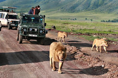Jeep safari in Africa, travelers photographed lion royalty free stock photos