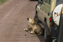 Jeep safari in Africa, travelers photographed lion Royalty Free Stock Photography