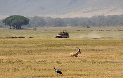 Jeep safari in Ngorongoro. Jeep safari ,wild animals and the Tanzanian landscape Royalty Free Stock Photography