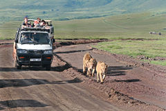 Jeep safari, tourists accompany family of lions. Royalty Free Stock Photo