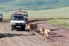 Jeepar med turister som reser på vägen för en flock med lejon, Ngorongoro nationalpark, Tanzania. Royaltyfri Bild