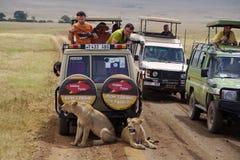 Jeepsafari em Ngorongoro 1 Fotos de Stock Royalty Free