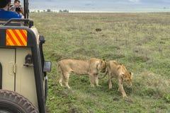 Jeepsafari i Afrika, handelsresande fotograferade lejonet Royaltyfri Fotografi