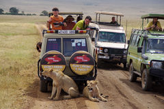 Jeep safari in Ngorongoro 1. Tourists and photographers are watching wild lions, who walk between the jeeps Royalty Free Stock Photos