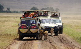 Jeep safari in Ngorongoro3. Tourists and photographers are watching wild lions, who walk between the jeeps Stock Image