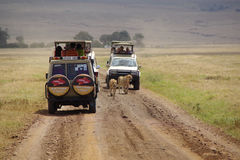 Jeep safari in Ngorongoro 2. Tourists and photographers are watching wild lions, who walk between the jeeps Stock Image