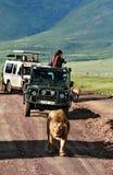 Jeepturister som omges av stolthetafrikanlejon. Arkivfoton