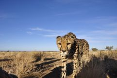 A Jeetha in the namibian Kalahari coming close to you. Where one third of the world population is living Stock Image