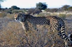 A Jeetha in the namibian Kalahari royalty free stock images