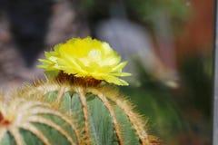 Jefe de flor amarillo del cactus de Notocactus Magnifica Fotos de archivo libres de regalías
