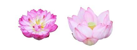 Jefe de flor de Lotus Fotografía de archivo libre de regalías
