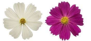 Jefe de flor del cosmos Fotografía de archivo libre de regalías