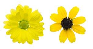 Jefe de flor del crisantemo y del rudbeckia, susa negro-observado foto de archivo