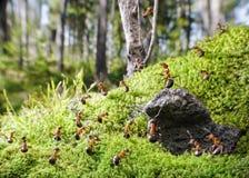 Jefe de hormigas rojas y de su gente Fotografía de archivo libre de regalías