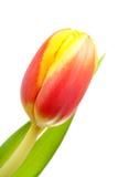 Jefe de la flor holandesa del tulipán Fotos de archivo libres de regalías