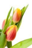 Jefe de la flor holandesa del tulipán Imagen de archivo libre de regalías