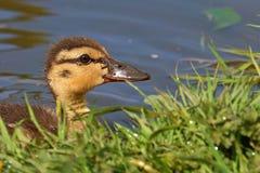 Jefe de la natación joven del anadón del pato silvestre en agua Imagen de archivo