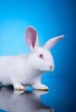Jefe de un pequeño conejo blanco Imagenes de archivo