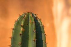 Jefe de una planta del cactus por completo de espinas imagen de archivo