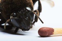 Jefe del abejorro y del partido Foto de archivo