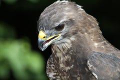 Jefe del halcón Foto de archivo libre de regalías