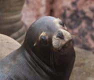 Jefe del lobo marino Imagen de archivo libre de regalías