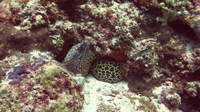 Jefe del moray asustadizo manchado en el submarino coralino del fondo en el mar de Maldivas metrajes