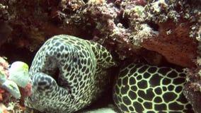 Jefe del moray asustadizo manchado en el submarino coralino del fondo en el mar de Maldivas almacen de metraje de vídeo