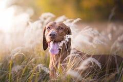 Jefe del perro de caza húngaro en puesta del sol de la tarde Fotografía de archivo
