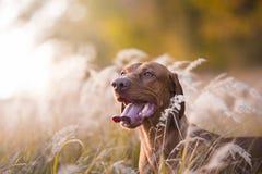 Jefe del perro de caza húngaro en puesta del sol de la tarde Imagenes de archivo
