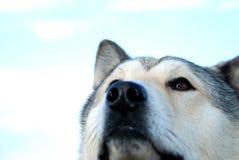 Jefe del perro esquimal Fotos de archivo