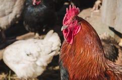 Jefe del primer rojo-negro del gallo foto de archivo libre de regalías