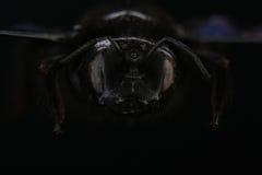 Jefe del violacea violeta del Xylocopa de la abeja de carpintero Macro extrema Fotografía de archivo