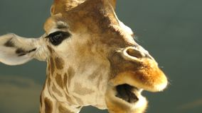 Jefe grande de un primer de la jirafa, comiendo la hierba Los ojos grandes La rama de hojas verdes Lentamente masticación de la c almacen de metraje de vídeo