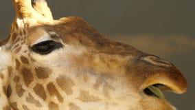 Jefe grande de un primer de la jirafa, comiendo la hierba Los ojos grandes La rama de hojas verdes movimiento de la cámara en el  almacen de metraje de vídeo