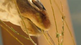 Jefe grande de un primer de la jirafa, comiendo la hierba La rama de hojas verdes Lentamente masticación de la comida almacen de metraje de vídeo