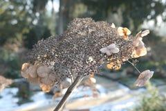 Jefe marrón secado de una flor de la hortensia en invierno Fotografía de archivo
