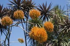 Jefes de flor de la planta del gypsophila del agavo fotos de archivo